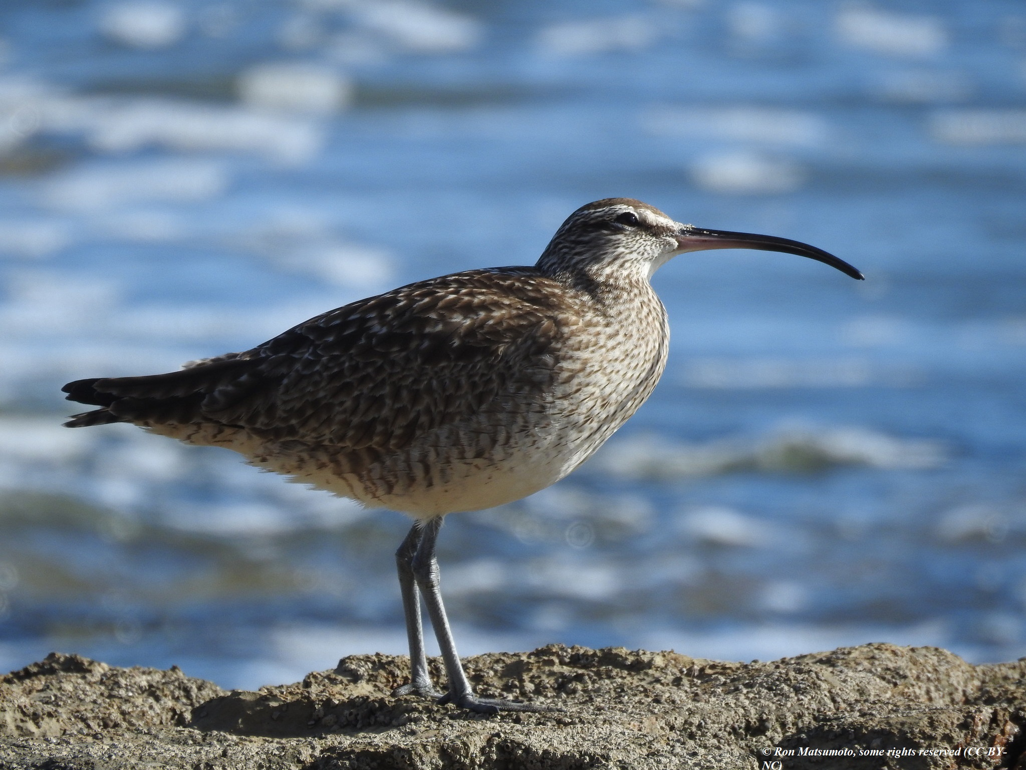 curlew_whimbrel_Ron_Matsumoto_CC-BY-NC_credit